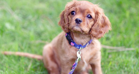 np_Cavalier spaniel sitting on the grass with leash on_5oZ7m0_free (1)